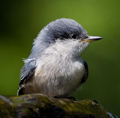 Pygmy Nuthatch Photo Credit: Ron Racine, Flickr
