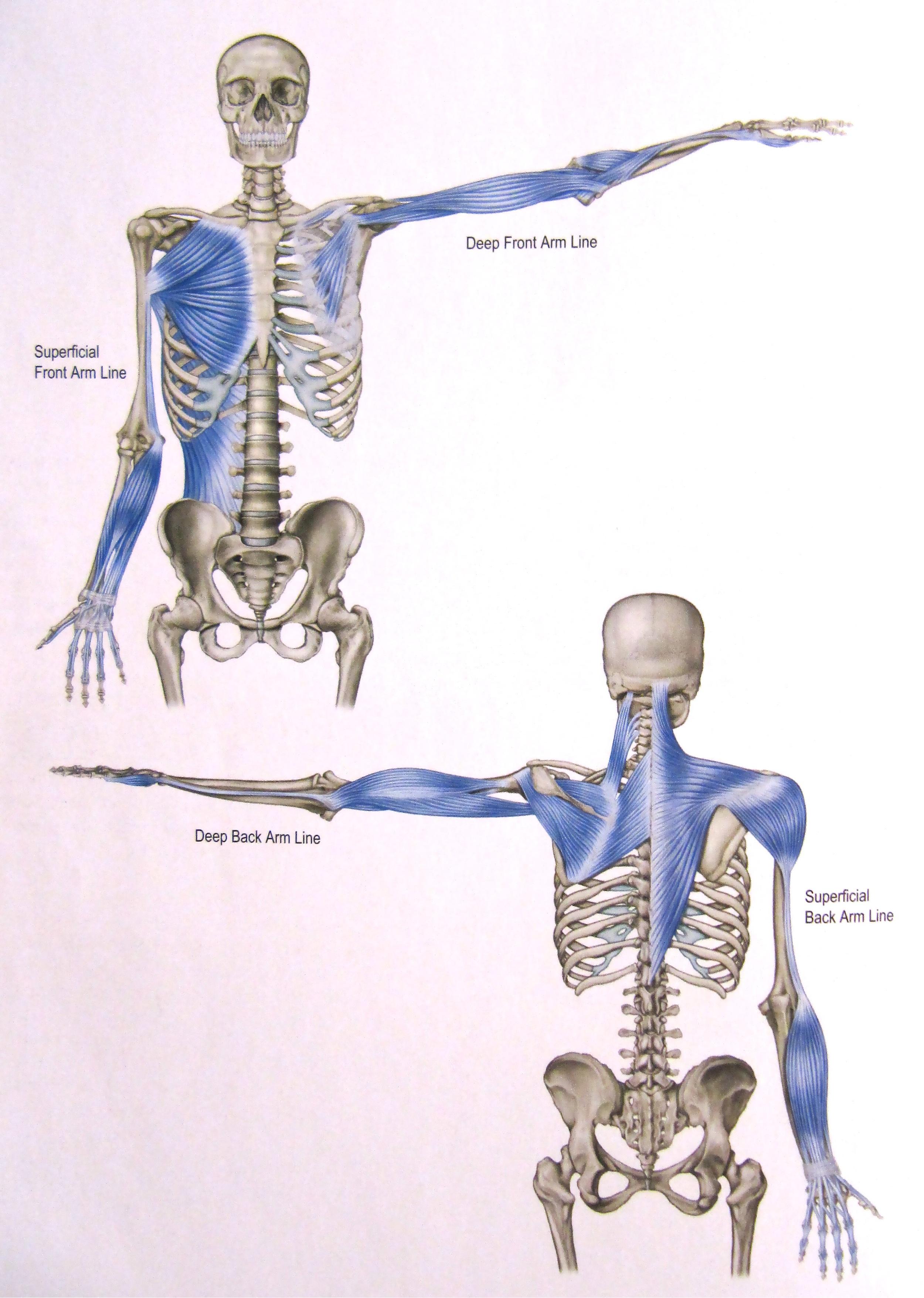 Superficial front arm Line