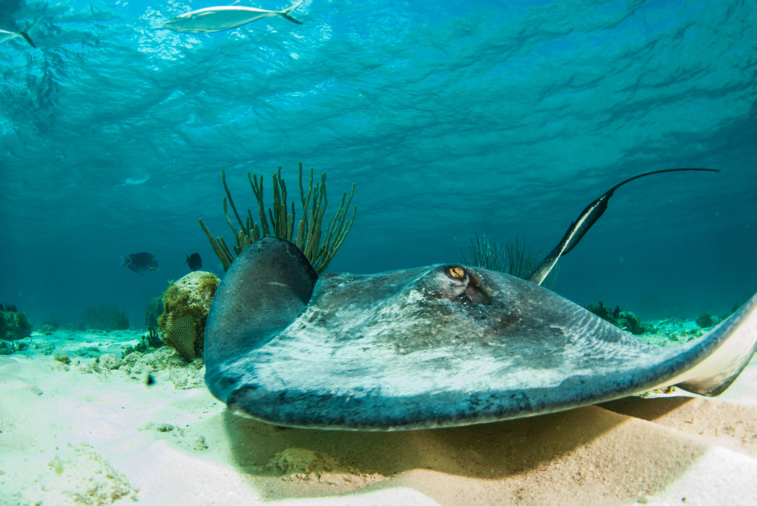 A southern stingray cruises across the sand in the shallow waters of Stingray City located in the north sound of Grand Cayman