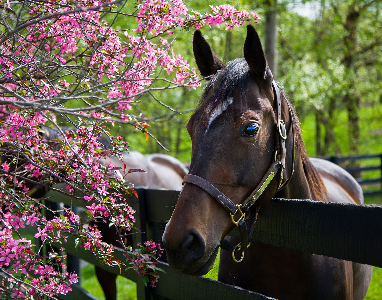 Thoroughbred Horse, Kentucky