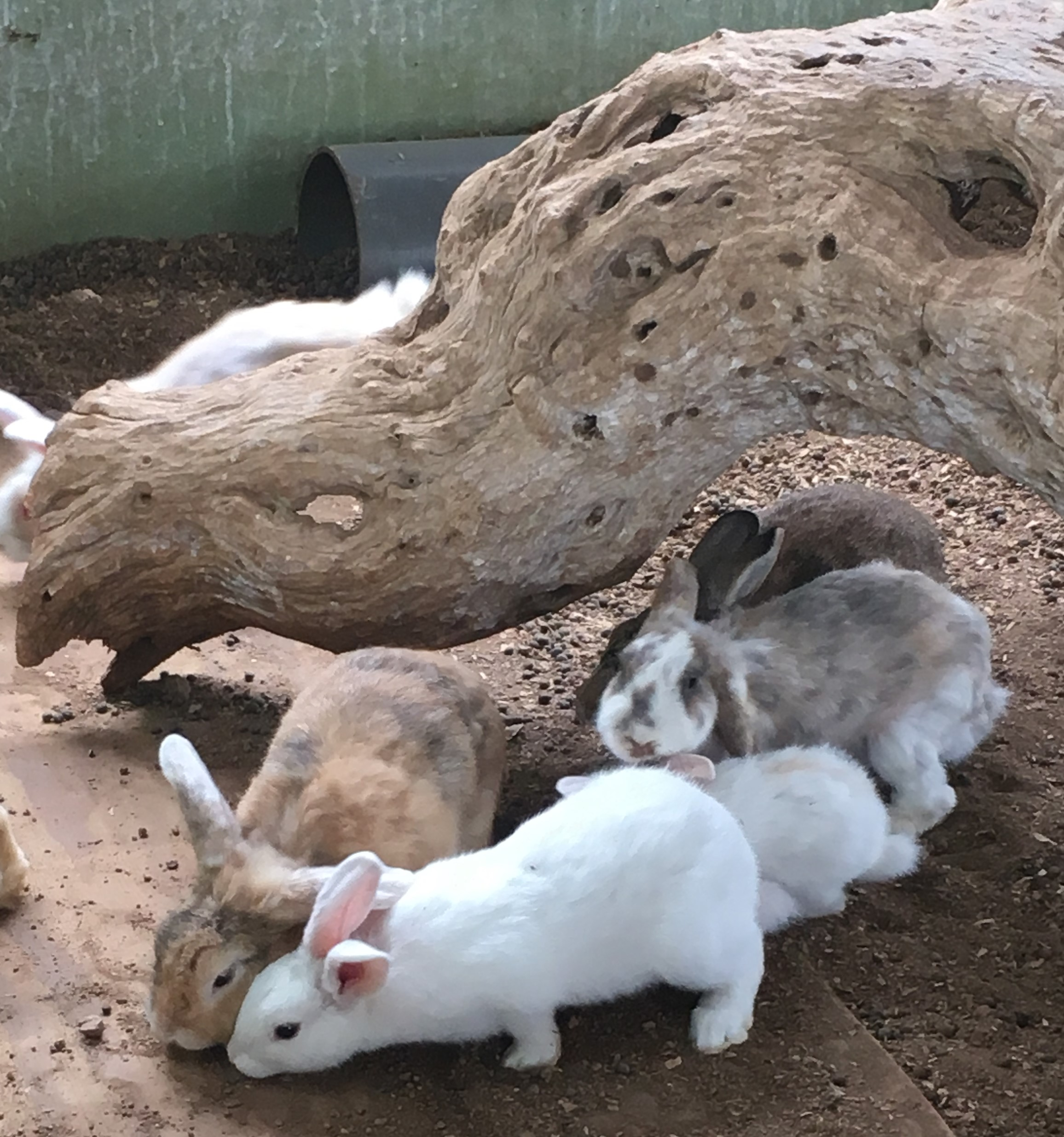 Stone Barns Center bunnies