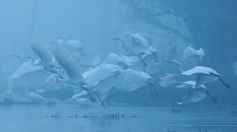 c1-Egrets-in-Fog-from-mack.jpg