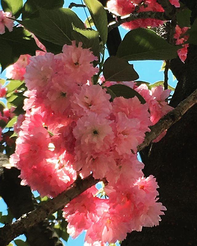#cherryblossom season in full bloom! #japan #traveler