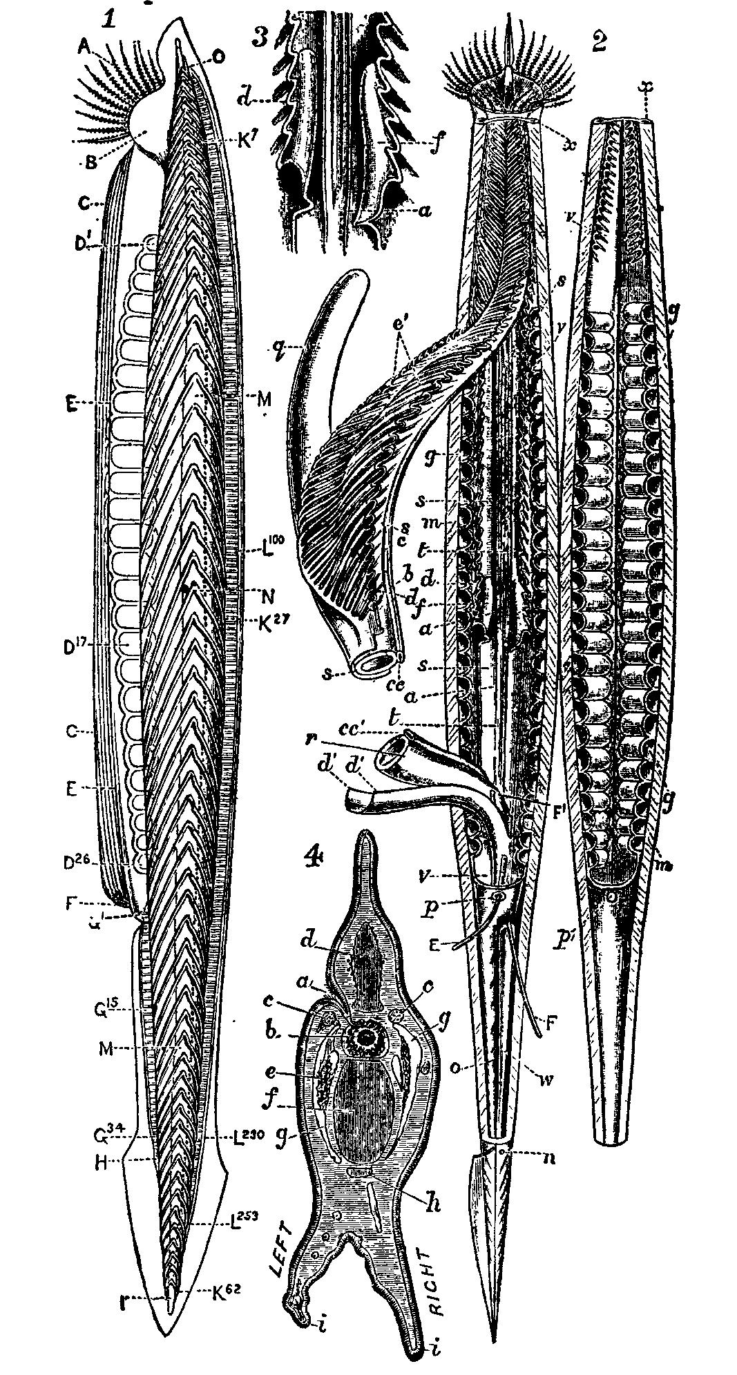 1911_Britannica_-_Amphioxus_lauceolatus.png