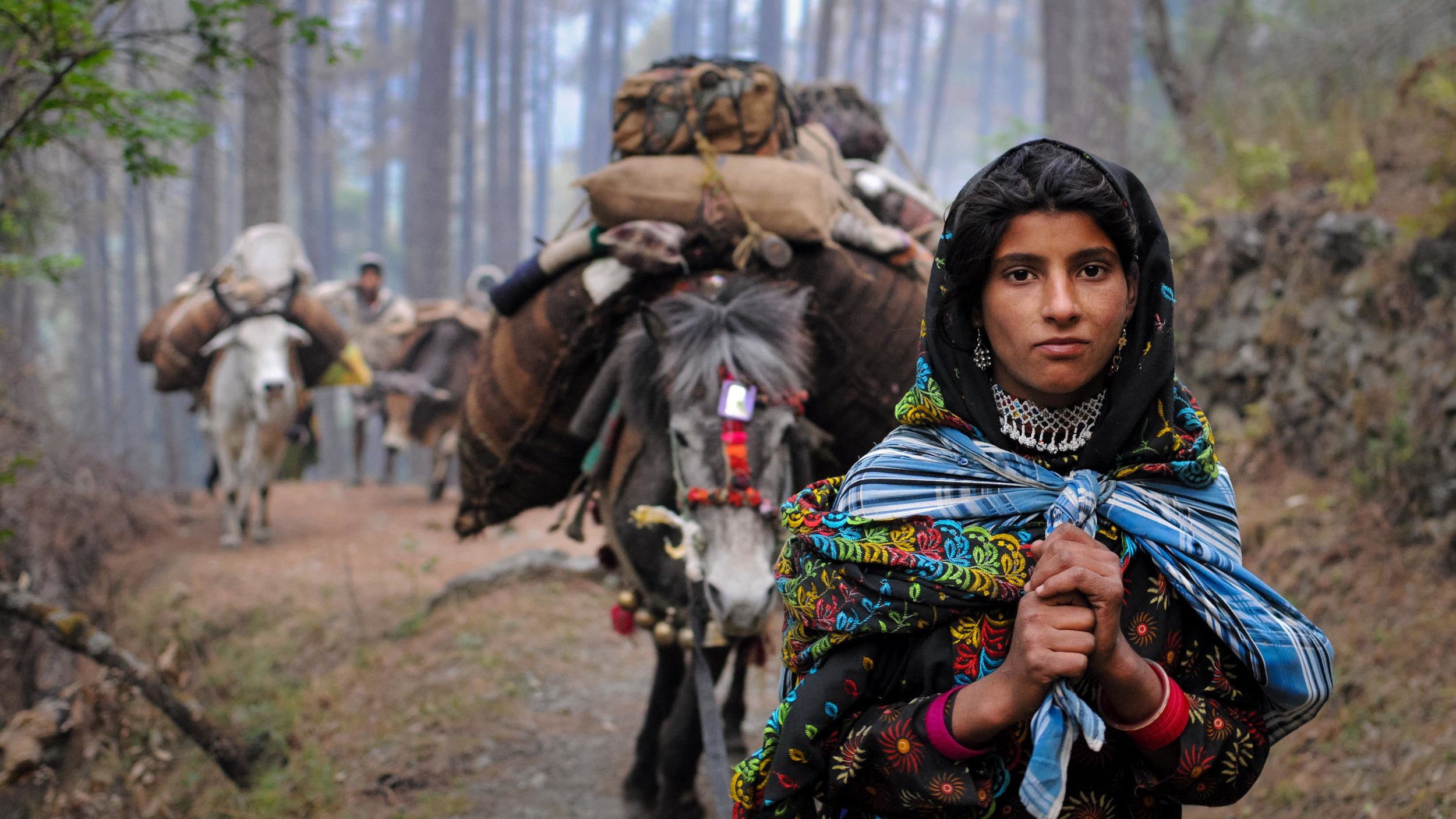 Every year, the Van Gujjars migrate from the lowlands of India into the Himalayas with their herds of buffaloes. (Photo by Michael Benanav)