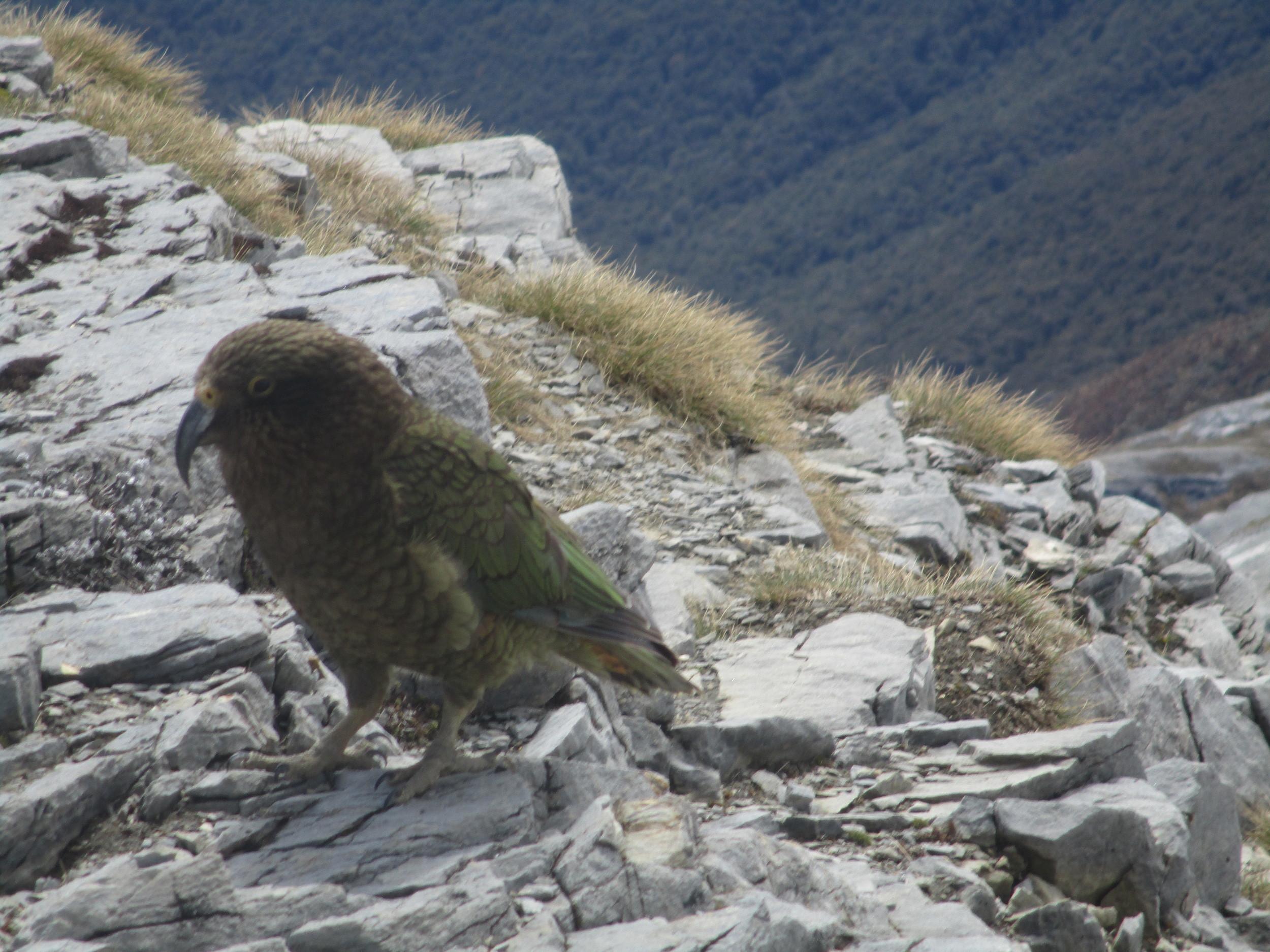 Mountain Parrot - Kea keeping us company