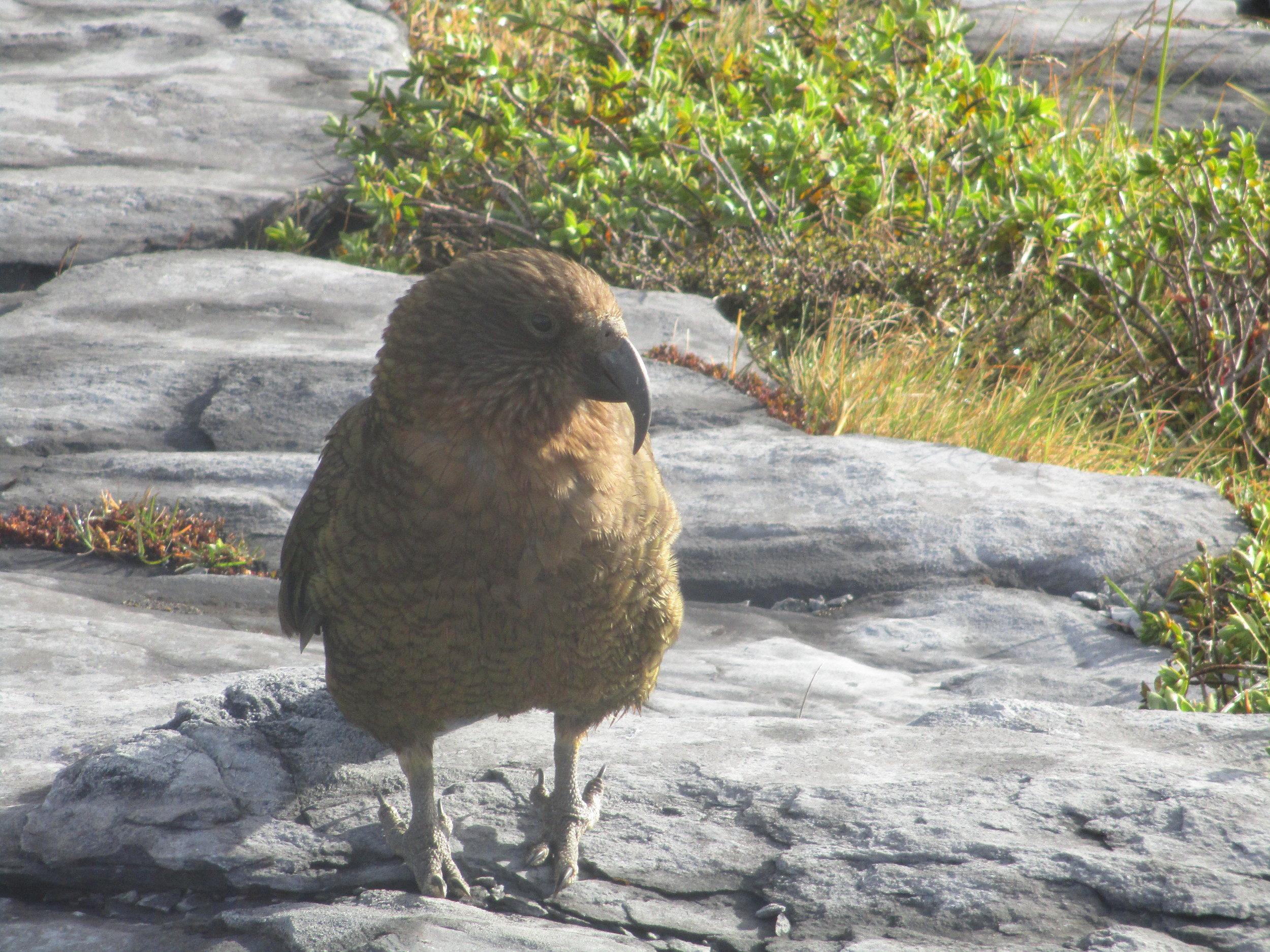 A particularly audacious Kea