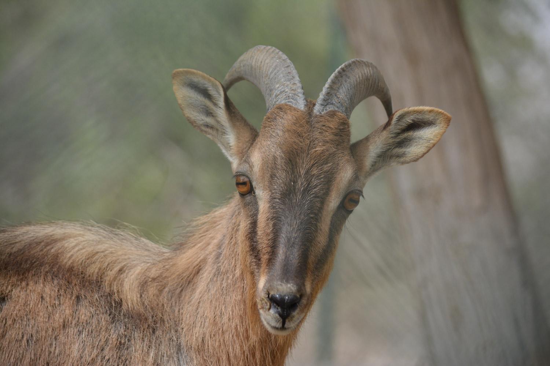 Arabian Tahr