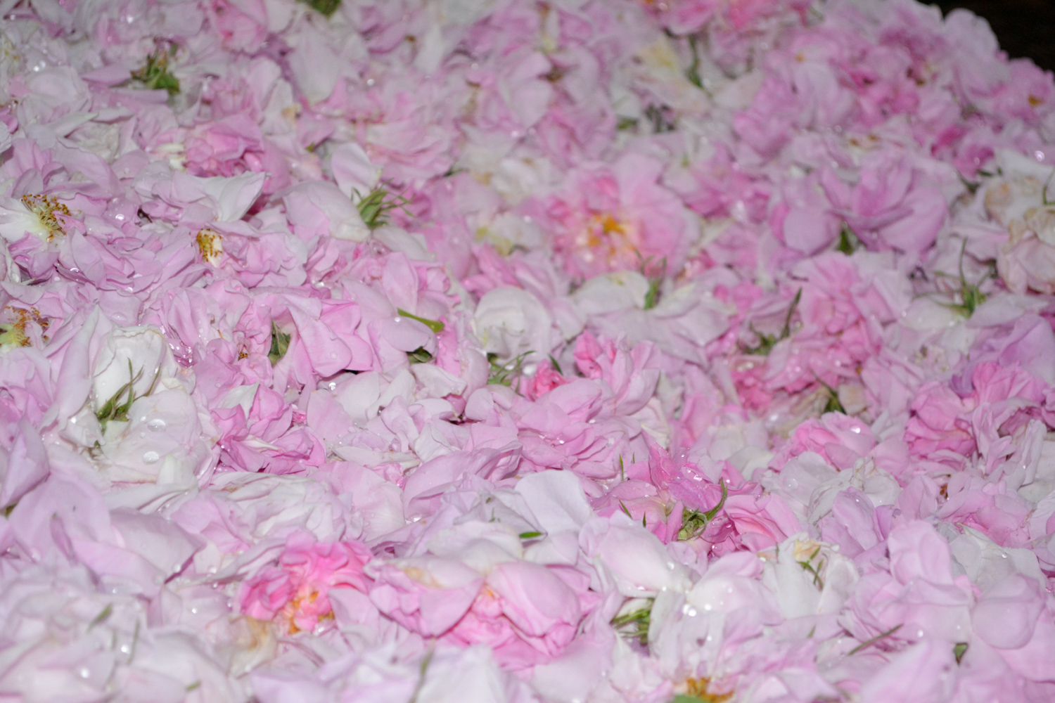 A bed of roses.