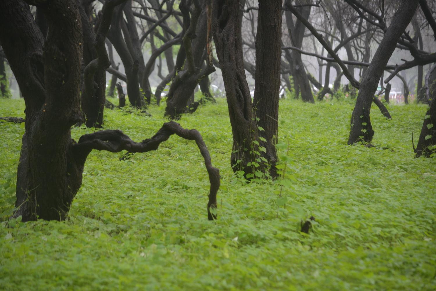 Is there a lucky clover among these crawling vines?