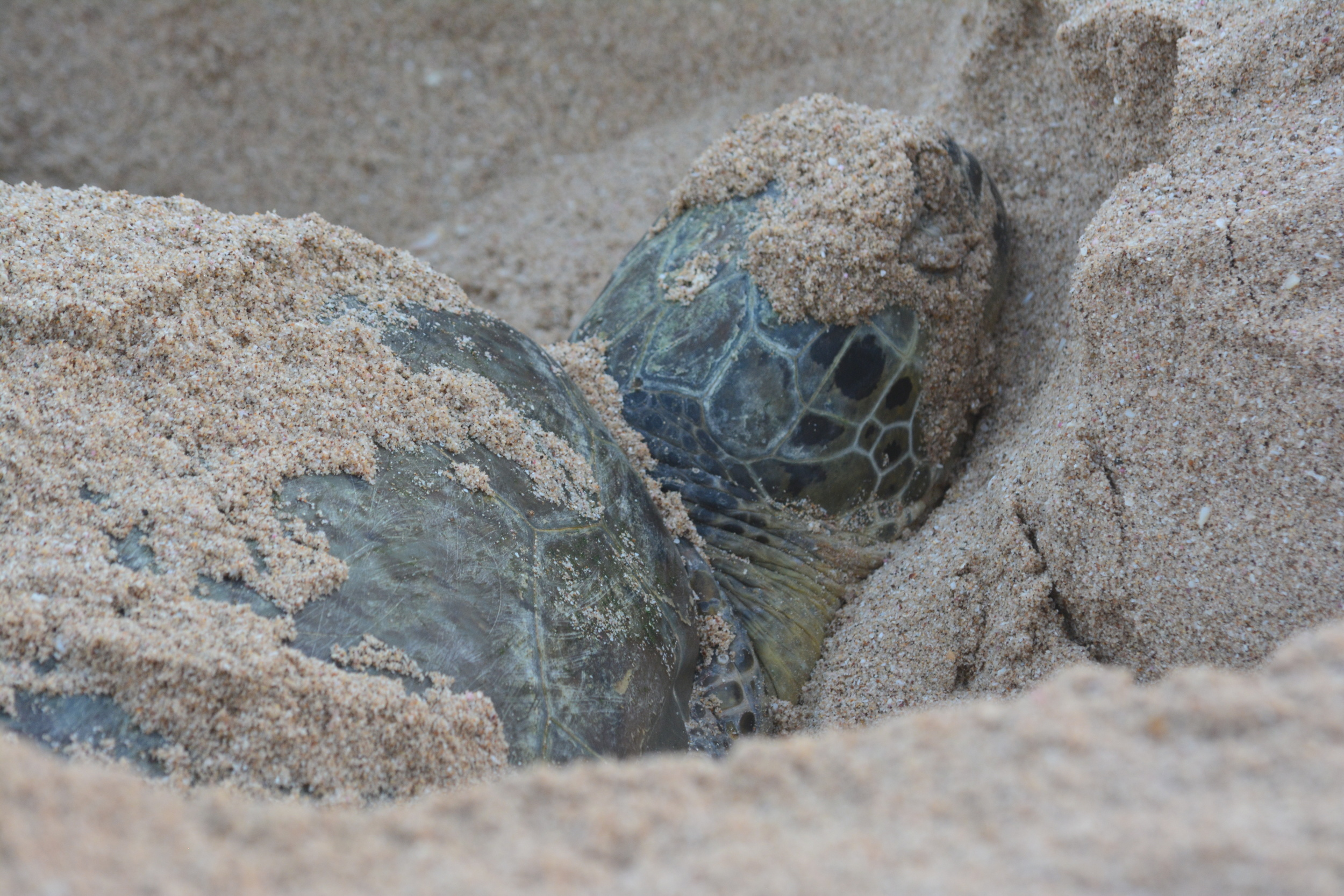 A Green Turtle catching a nap after a long night digging her nest.