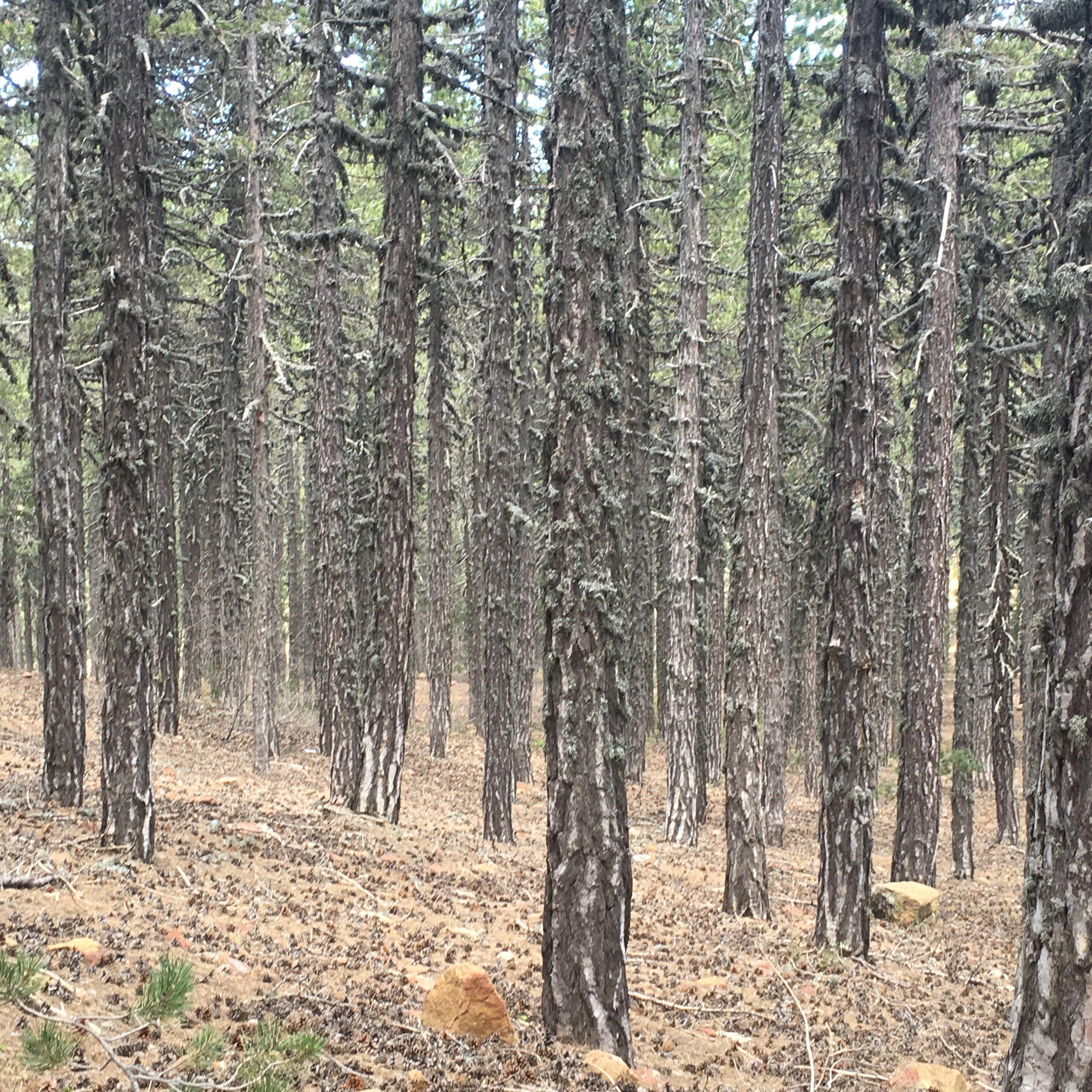 Black Pine Forest