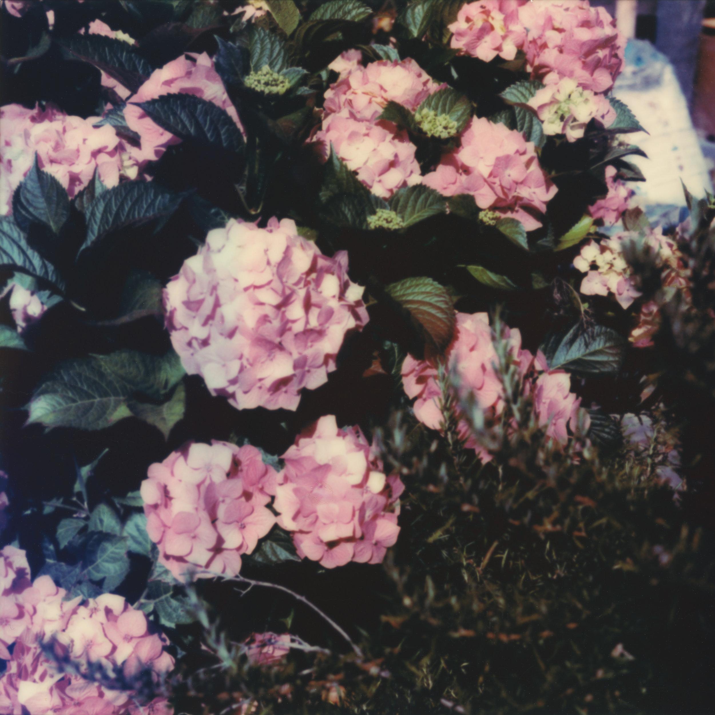 hydrangea016.jpg