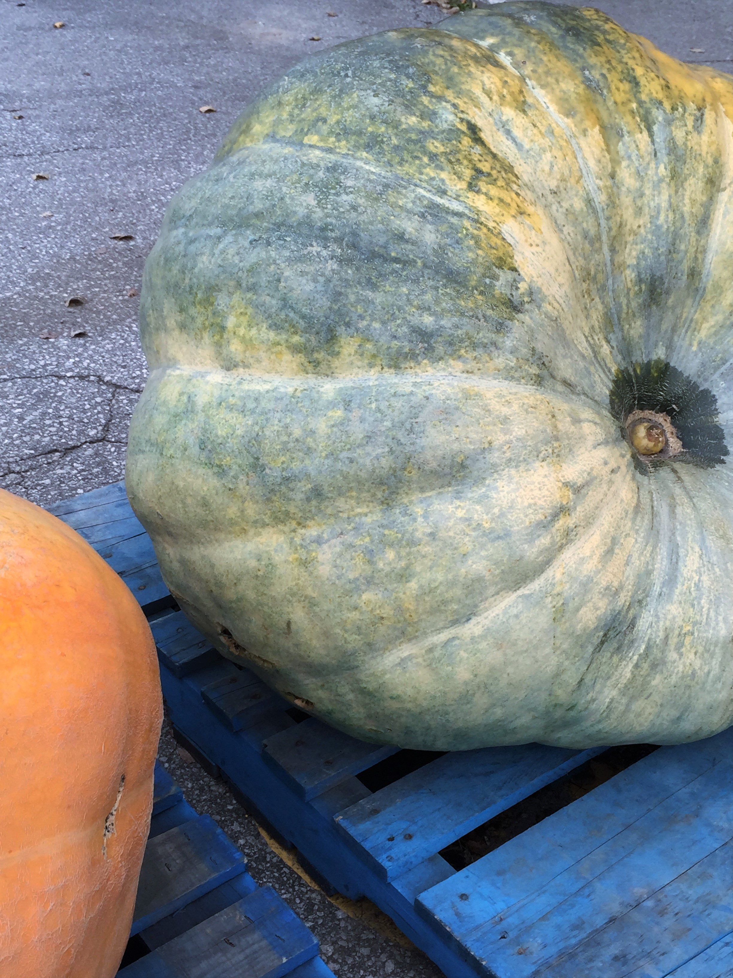 Award-winning blue pumpkin: Thornbury 2015