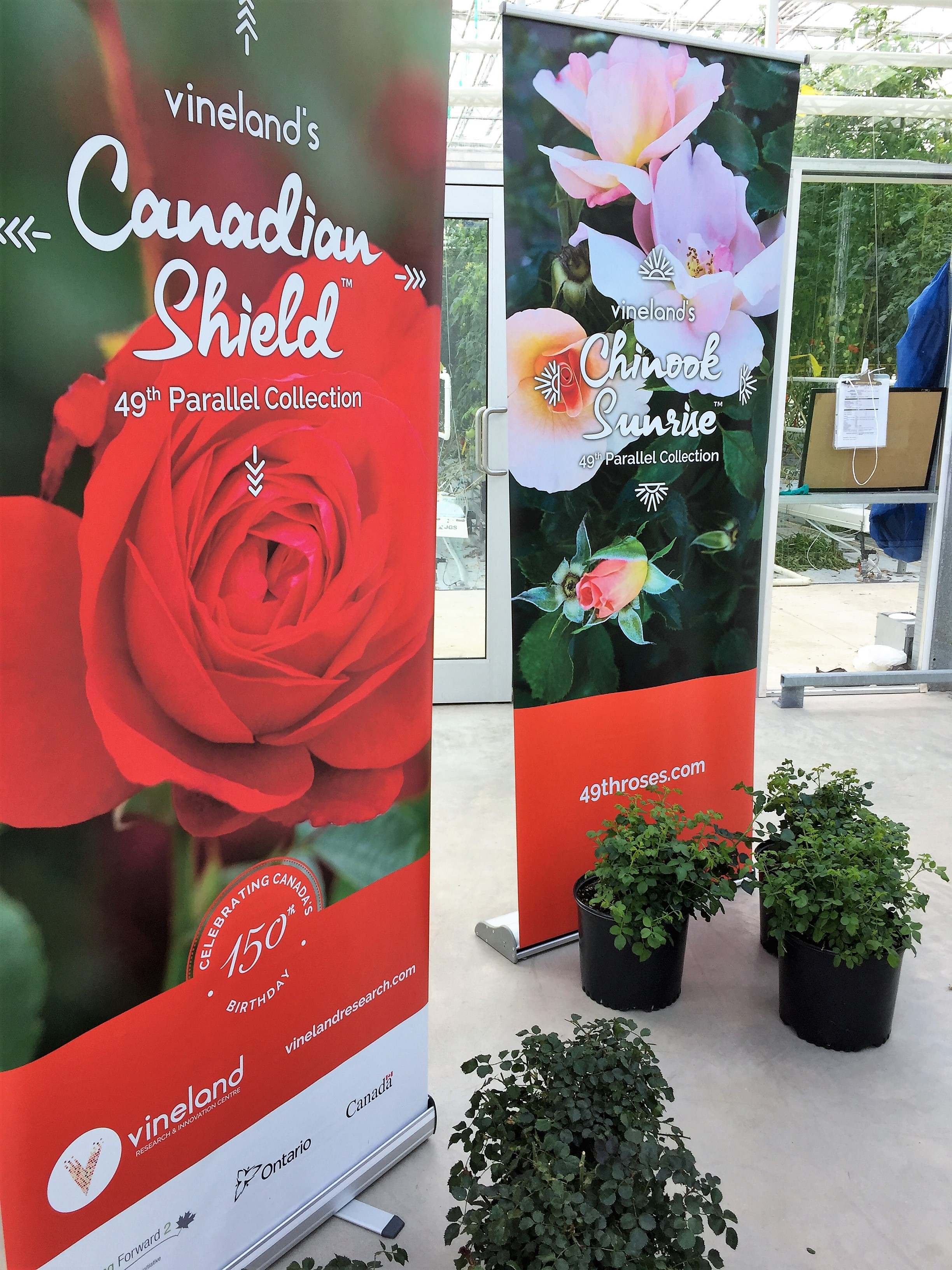 Canadian Shield and Chinook Sunrise - new roses!