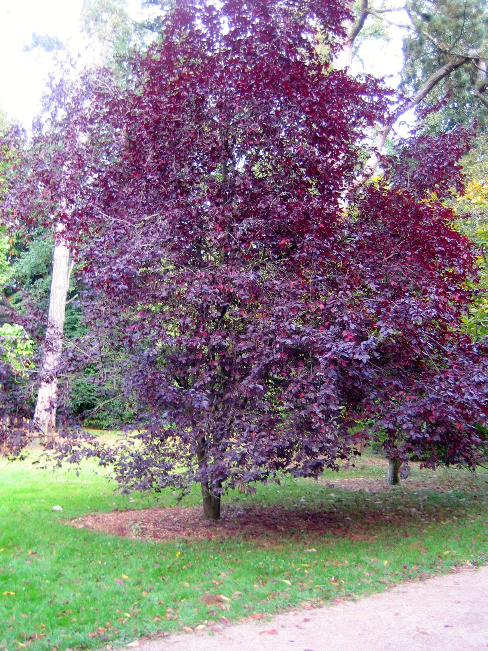 Cherry Plum has a very vibrant colour