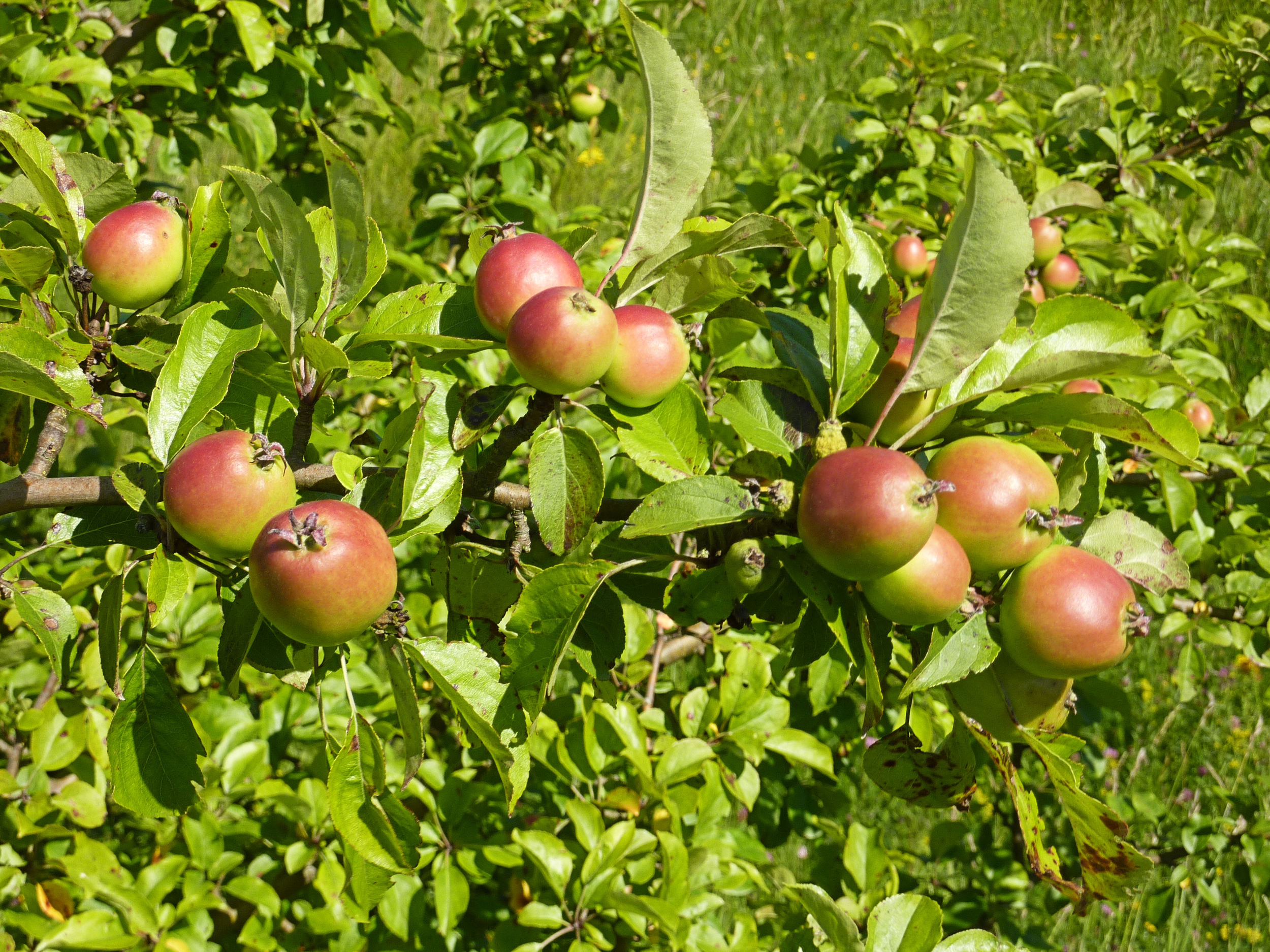 Crab apples are good for making jelly