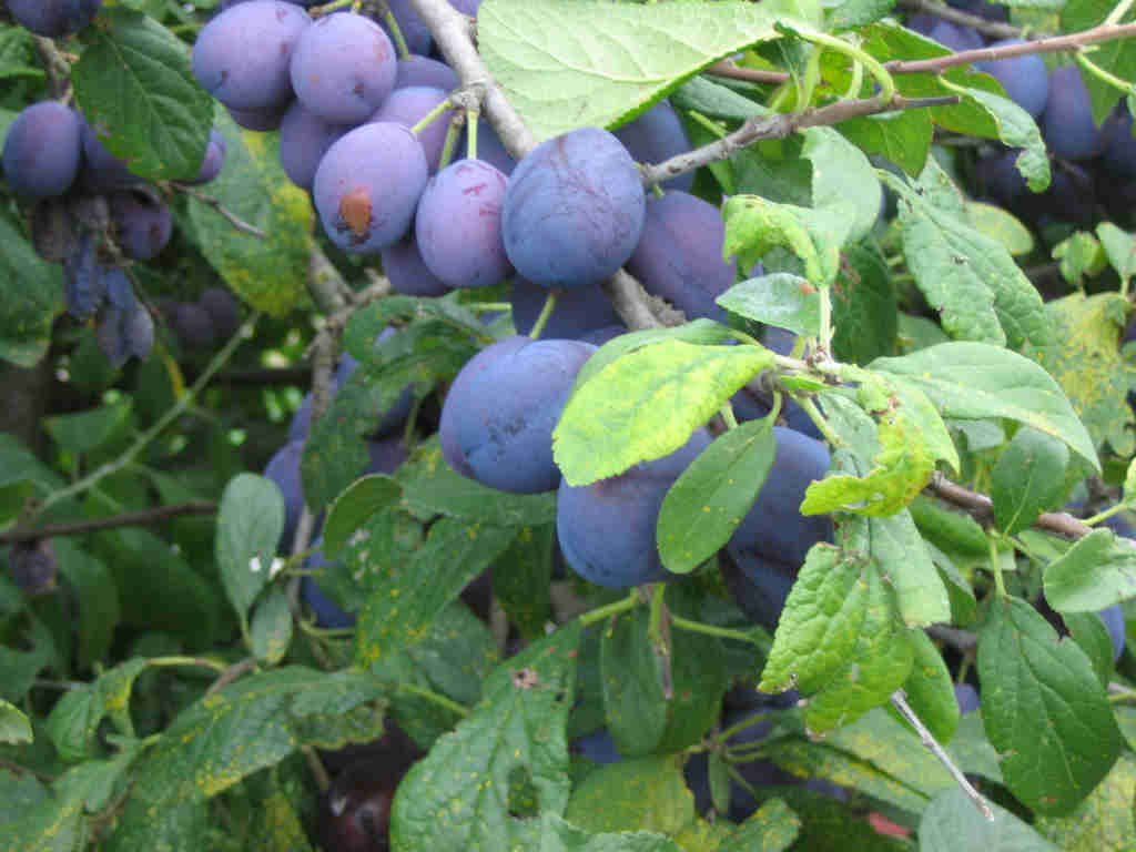 The Damson fruit has been known to flavour Gin...