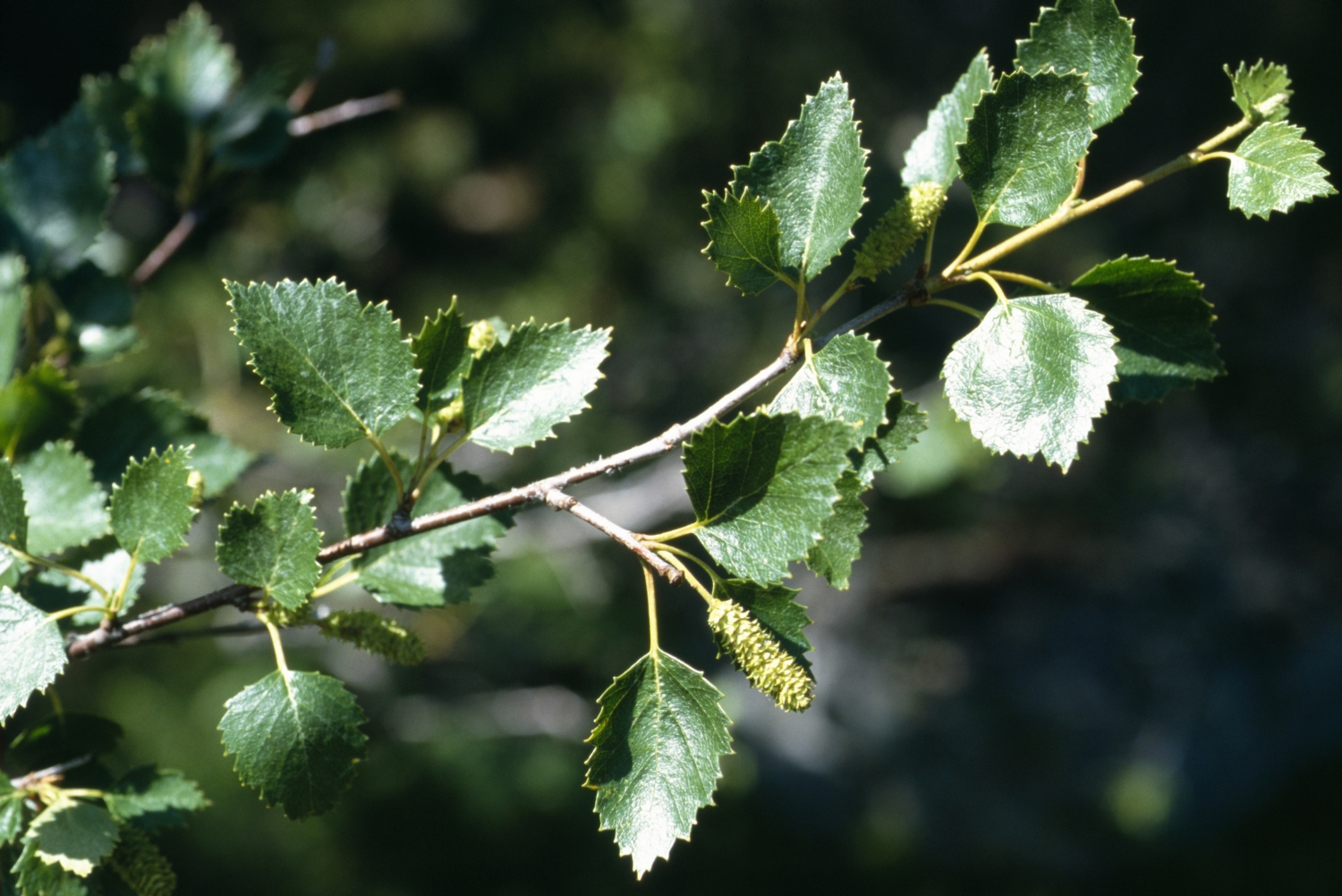 Downy birch leaves