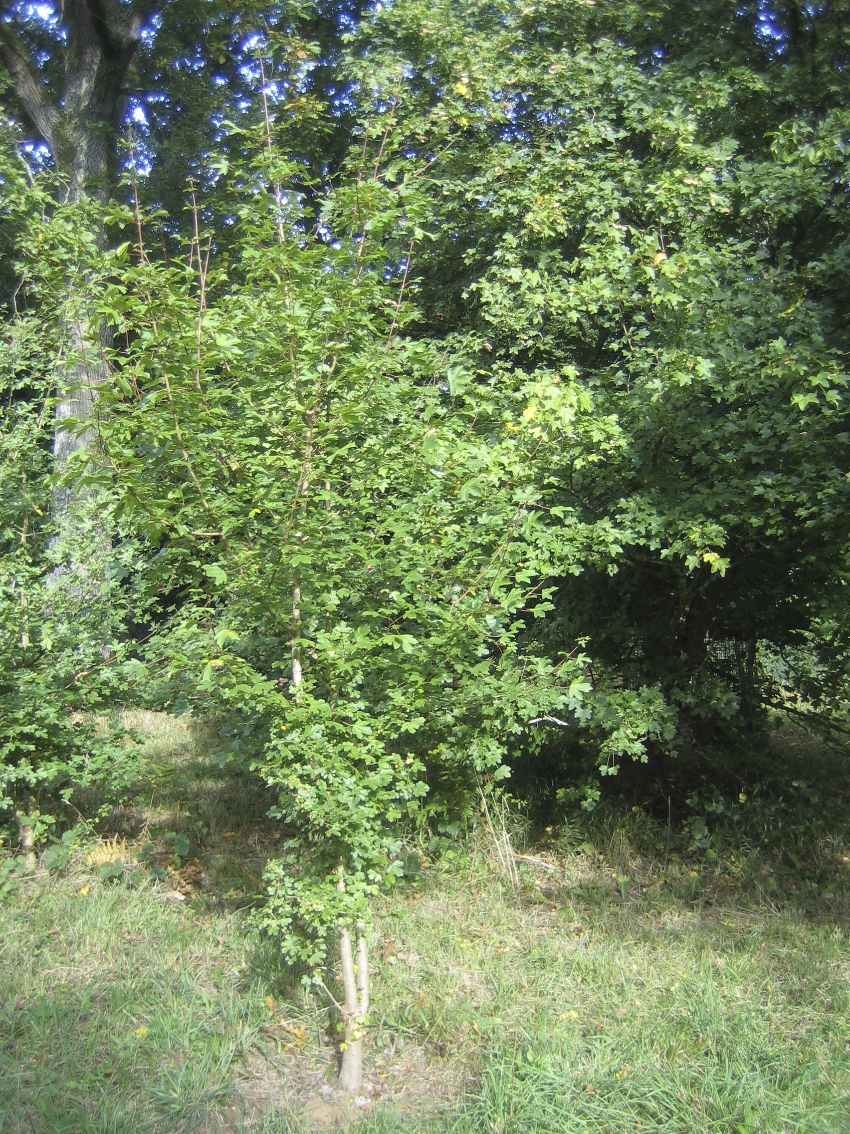 The Field Maple