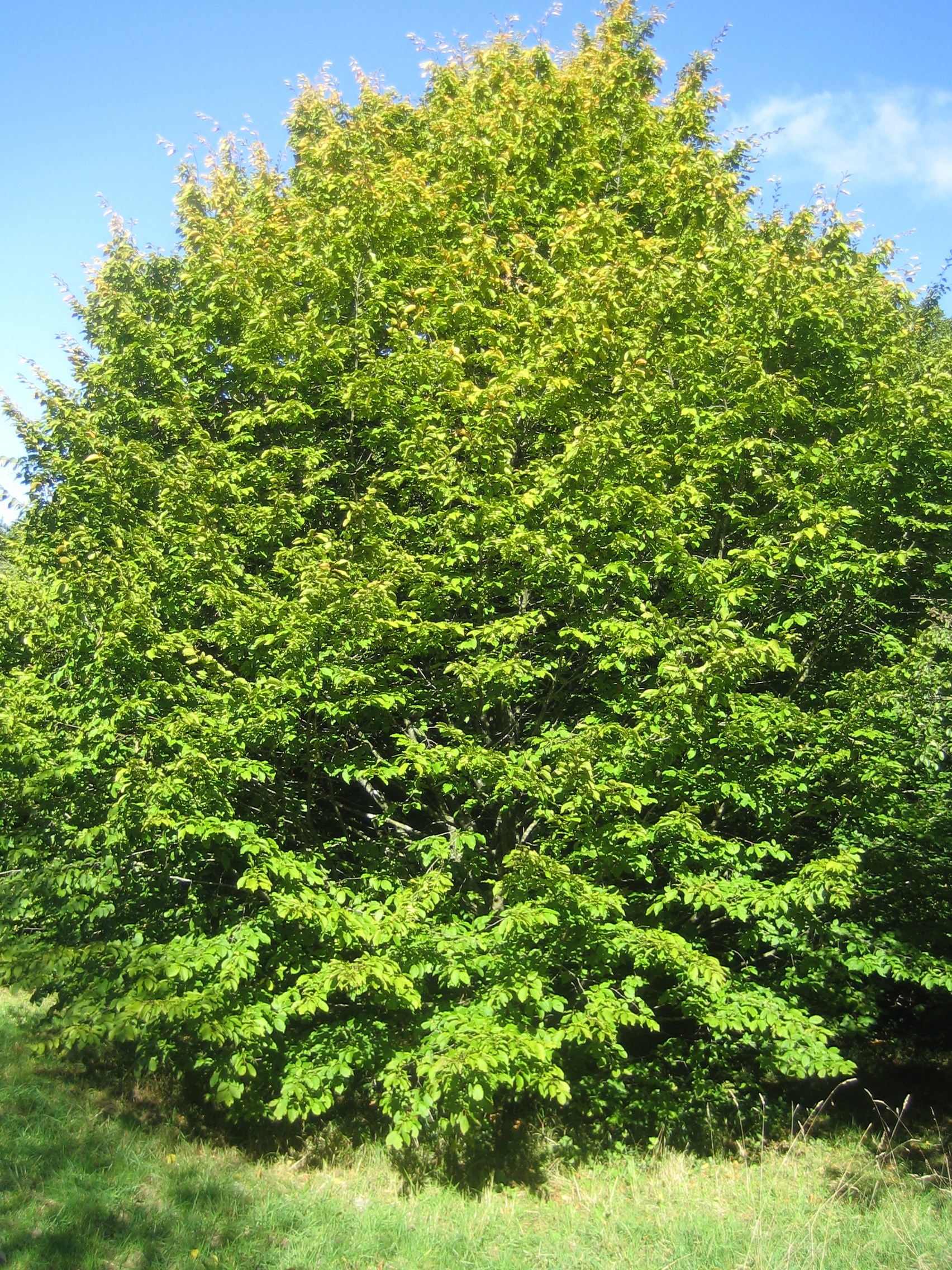 Hornbeam in the summer