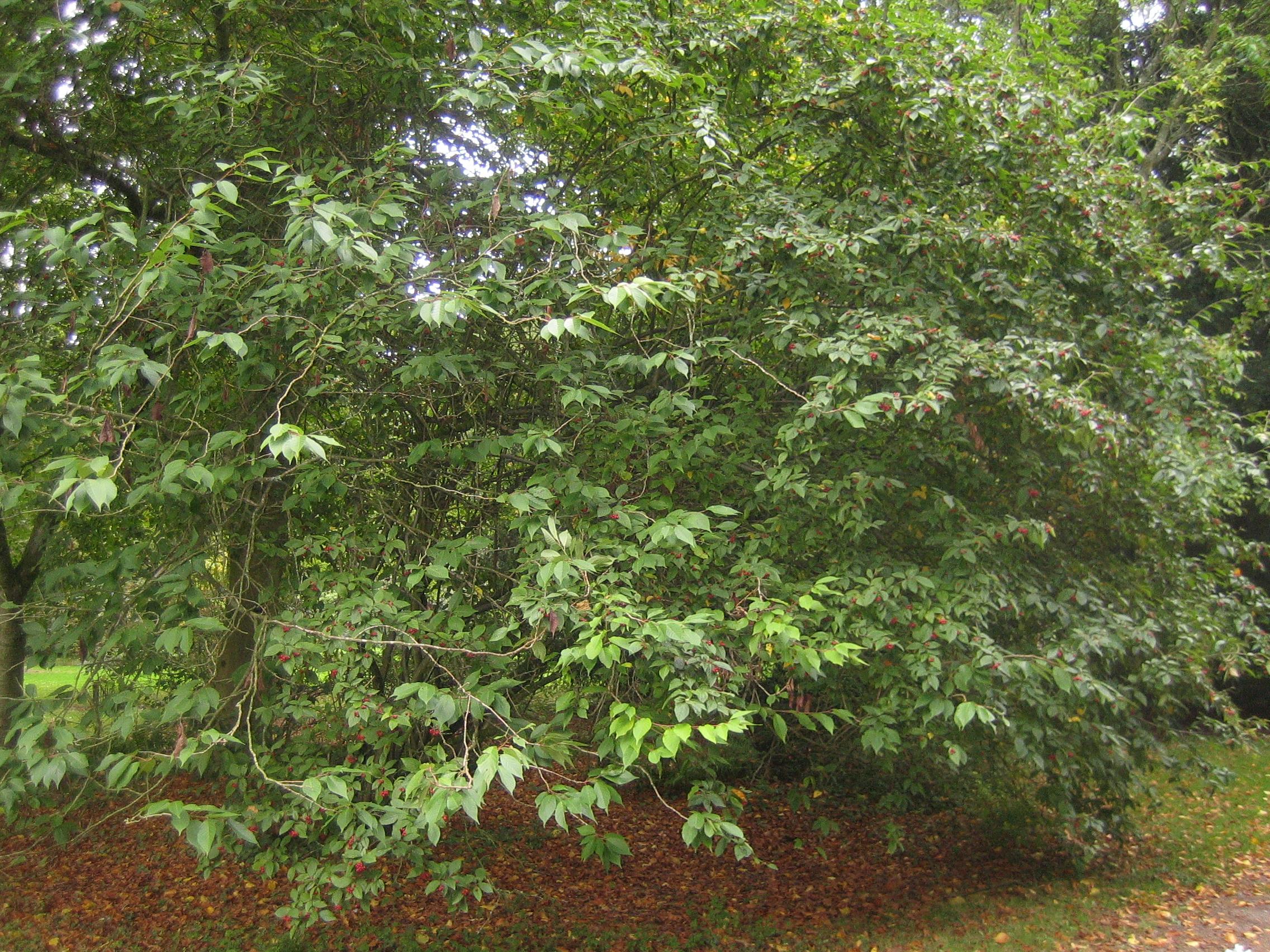 Large leaf Cotoneaster