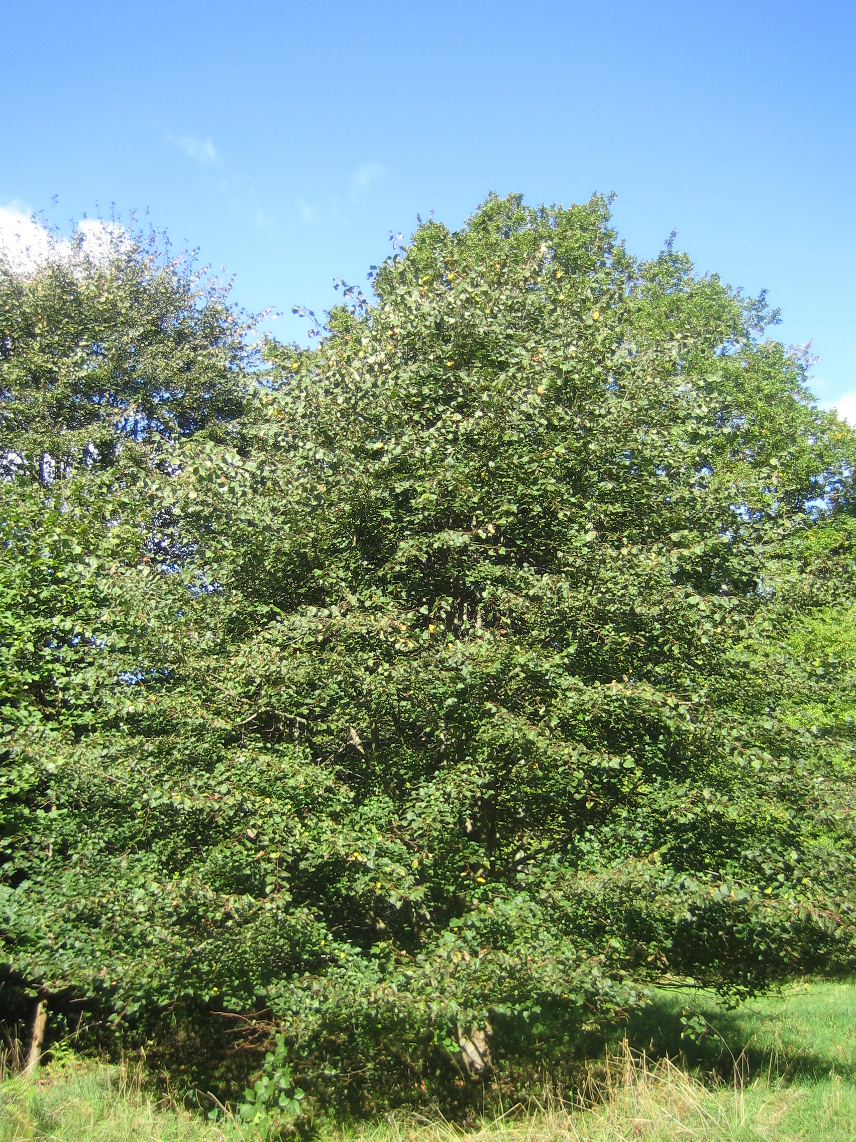 Small Leaved Lime tree