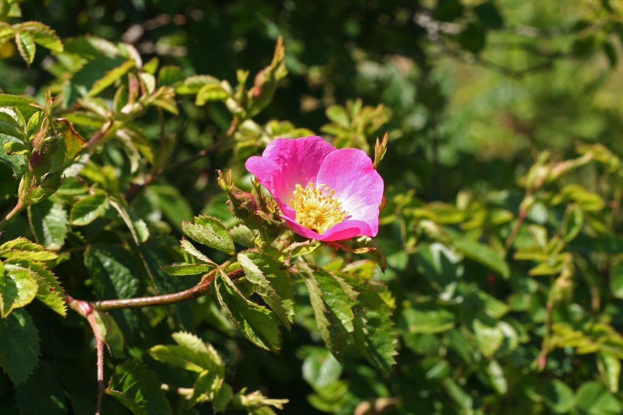 Sweetbriar flower
