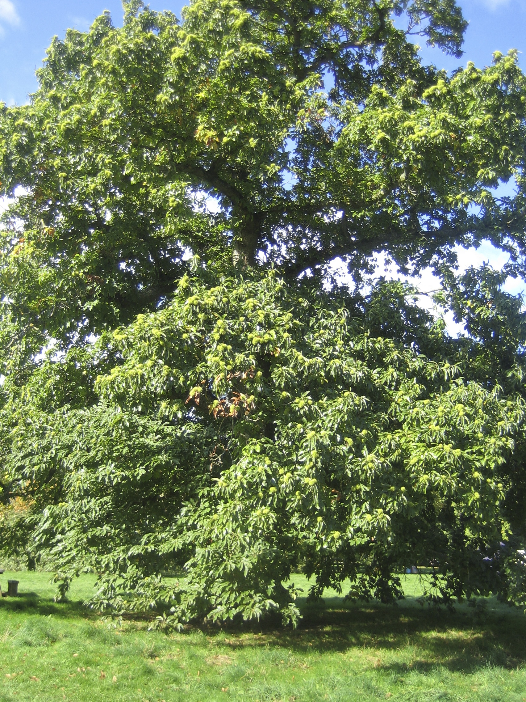 Sweet Chestnut in the autumn