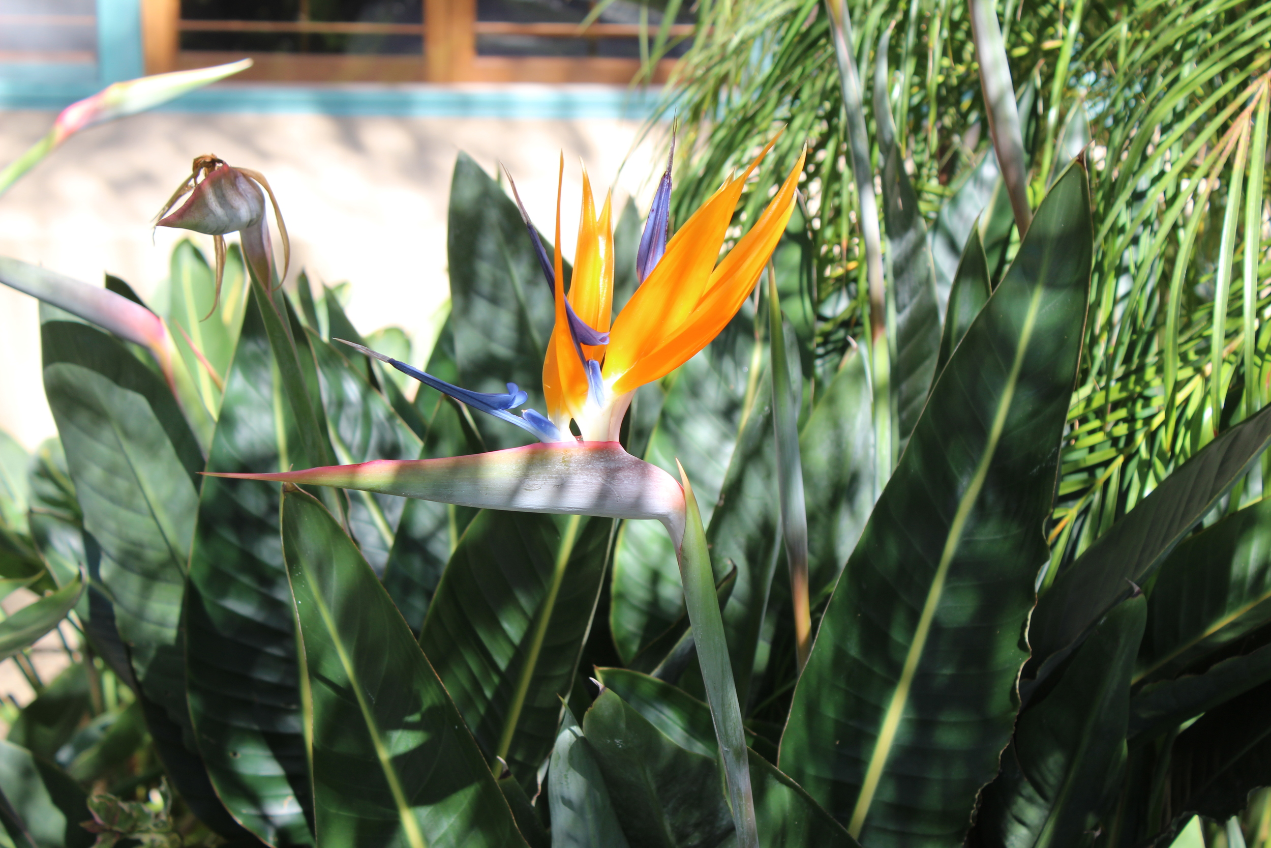 Birds of Paradise are beautiful!