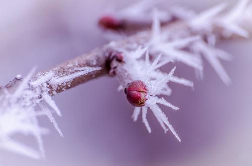 Flori de gheață