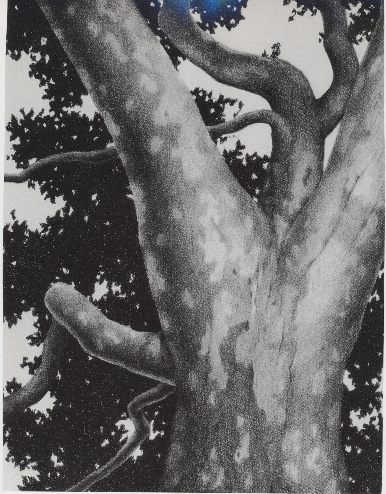 "Tree Pose Graphite and conte on paper/ 36"" X 28"""