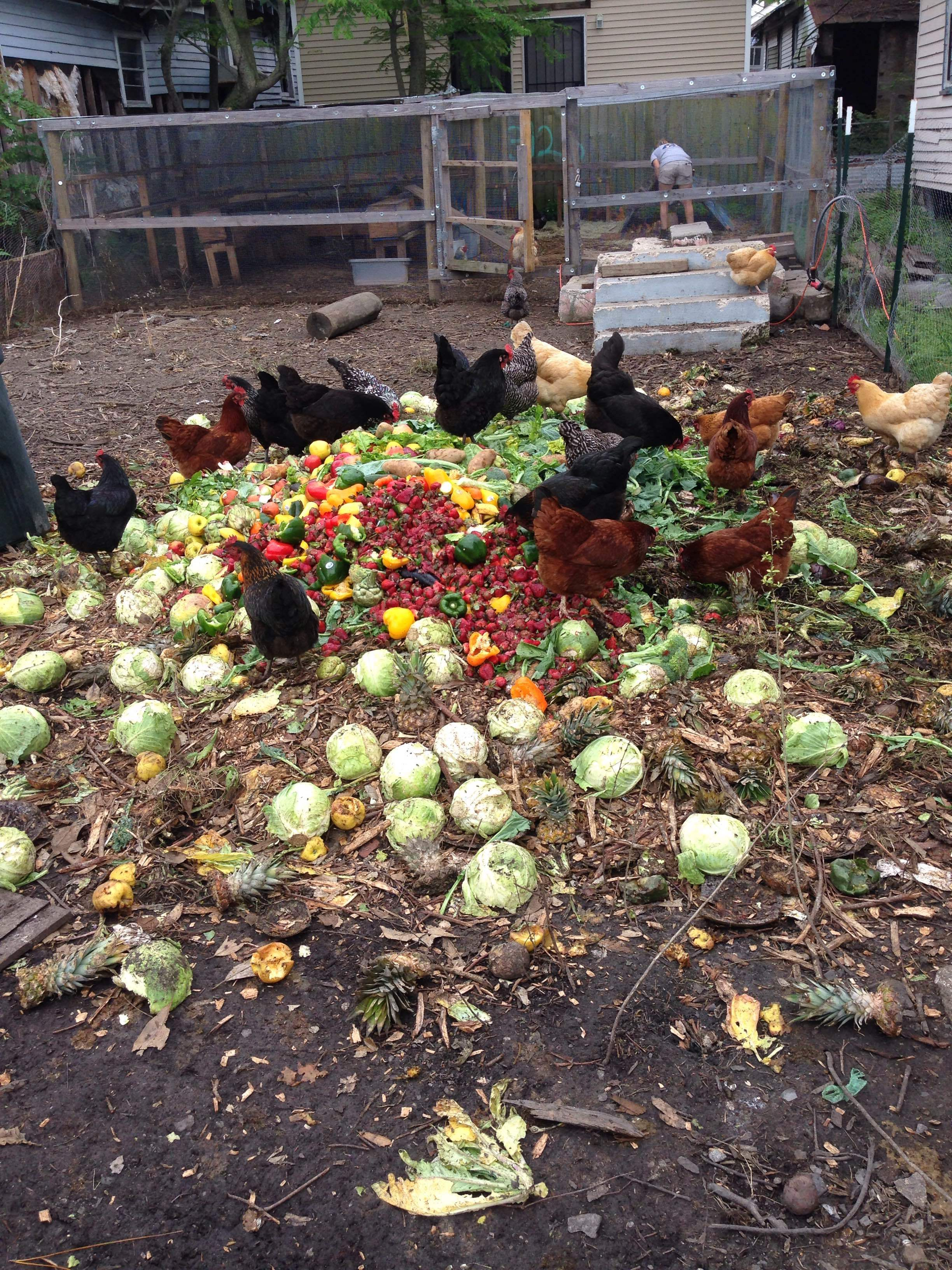 Yummmm! Our egg-laying hens feasting and helping us make compost