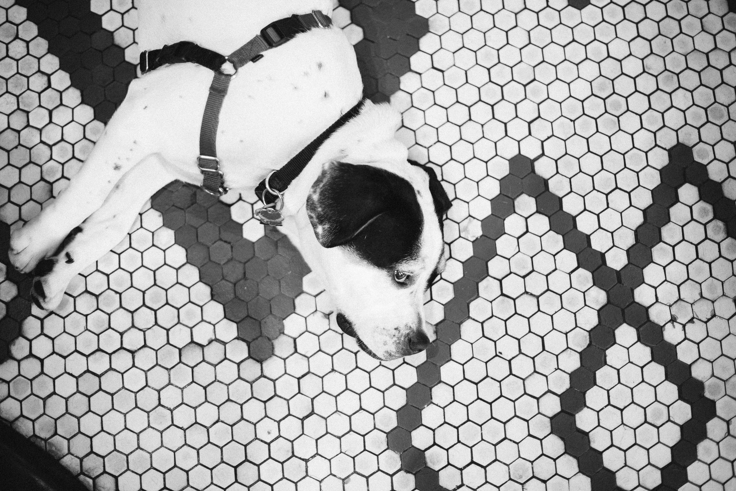 A black and white photo of a dog on mini tile floor at this Battello Wedding in Jersey City, NJ