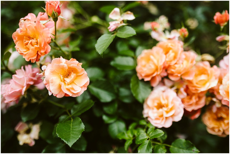 orange and pink roses at brooklyn botanic garden