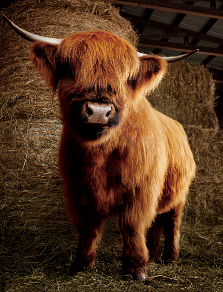 cow_close.jpg