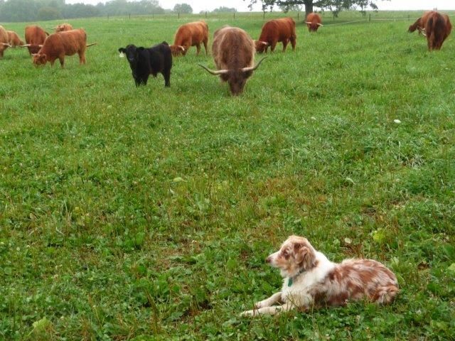Blue helps to move the cattle