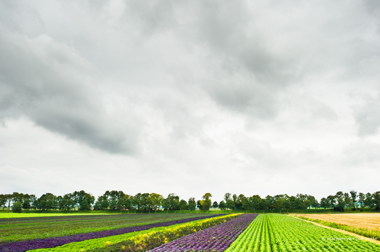 Colorful fields in Heinenoord.