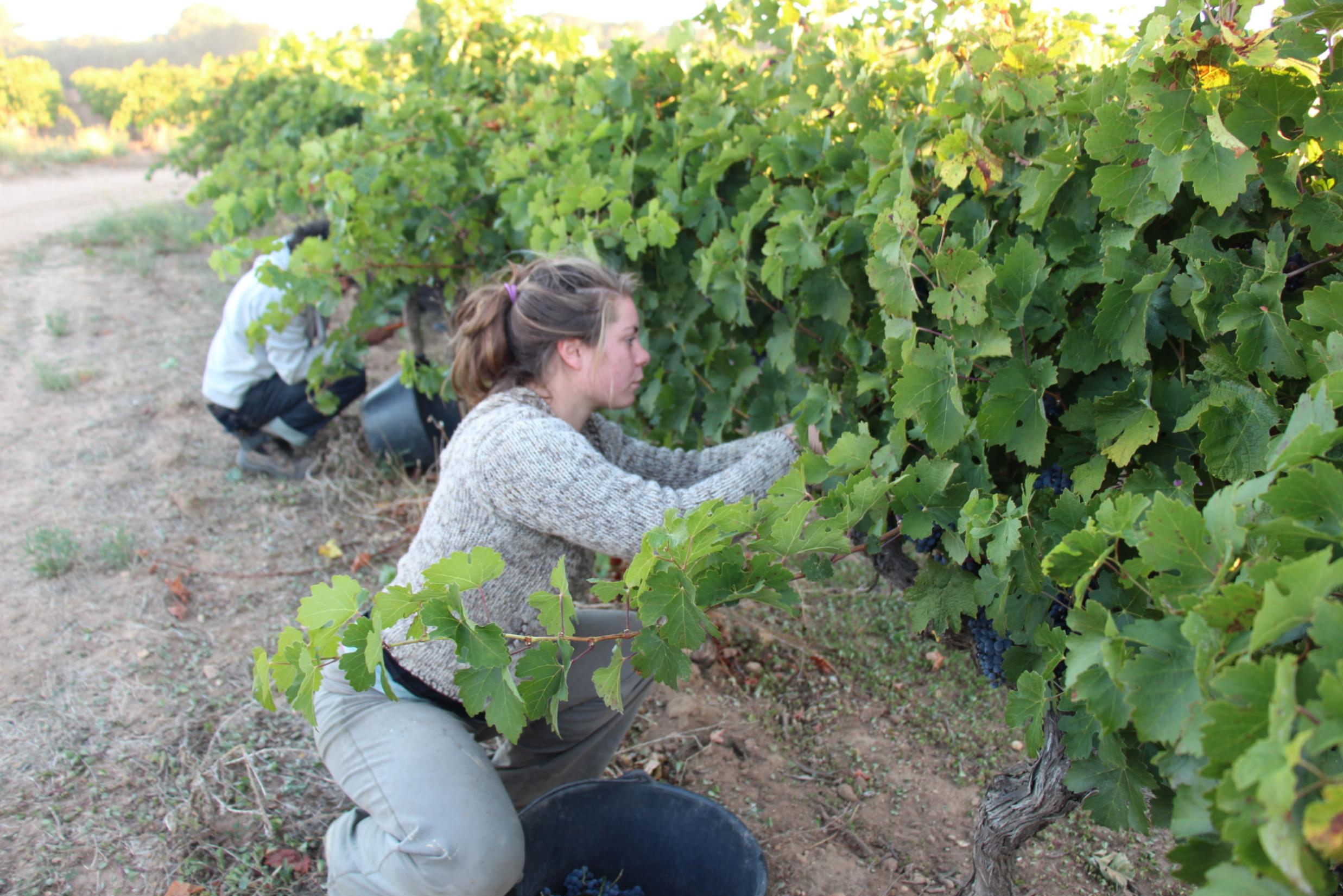 Harvest worker, Domaine de Sulauze, Côteaux d'Aix-en-Provence, France