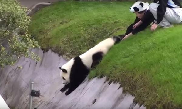 Panda discovers garden slope