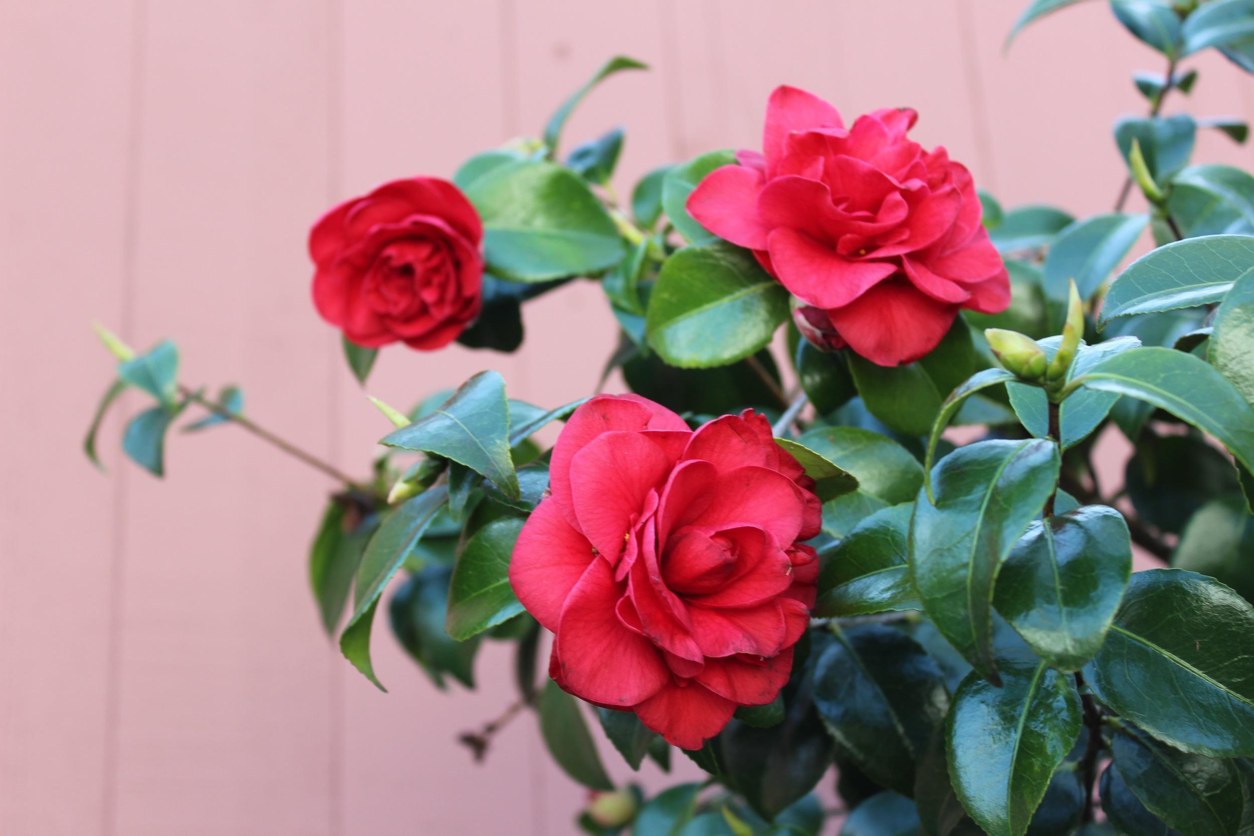 Camellia Bush