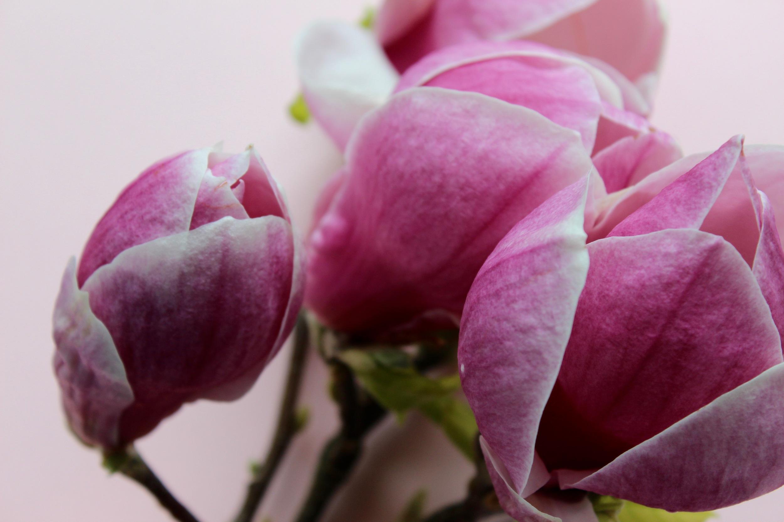 Magnlia grandiflora