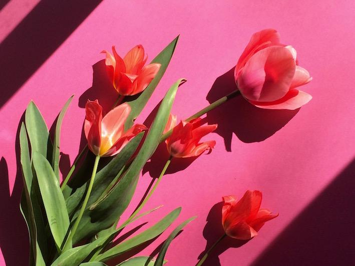 tulip fuchsia