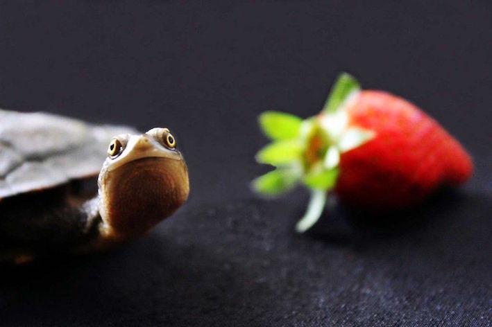 turtle strawberry