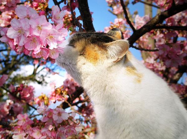 cat smells cherry blossom