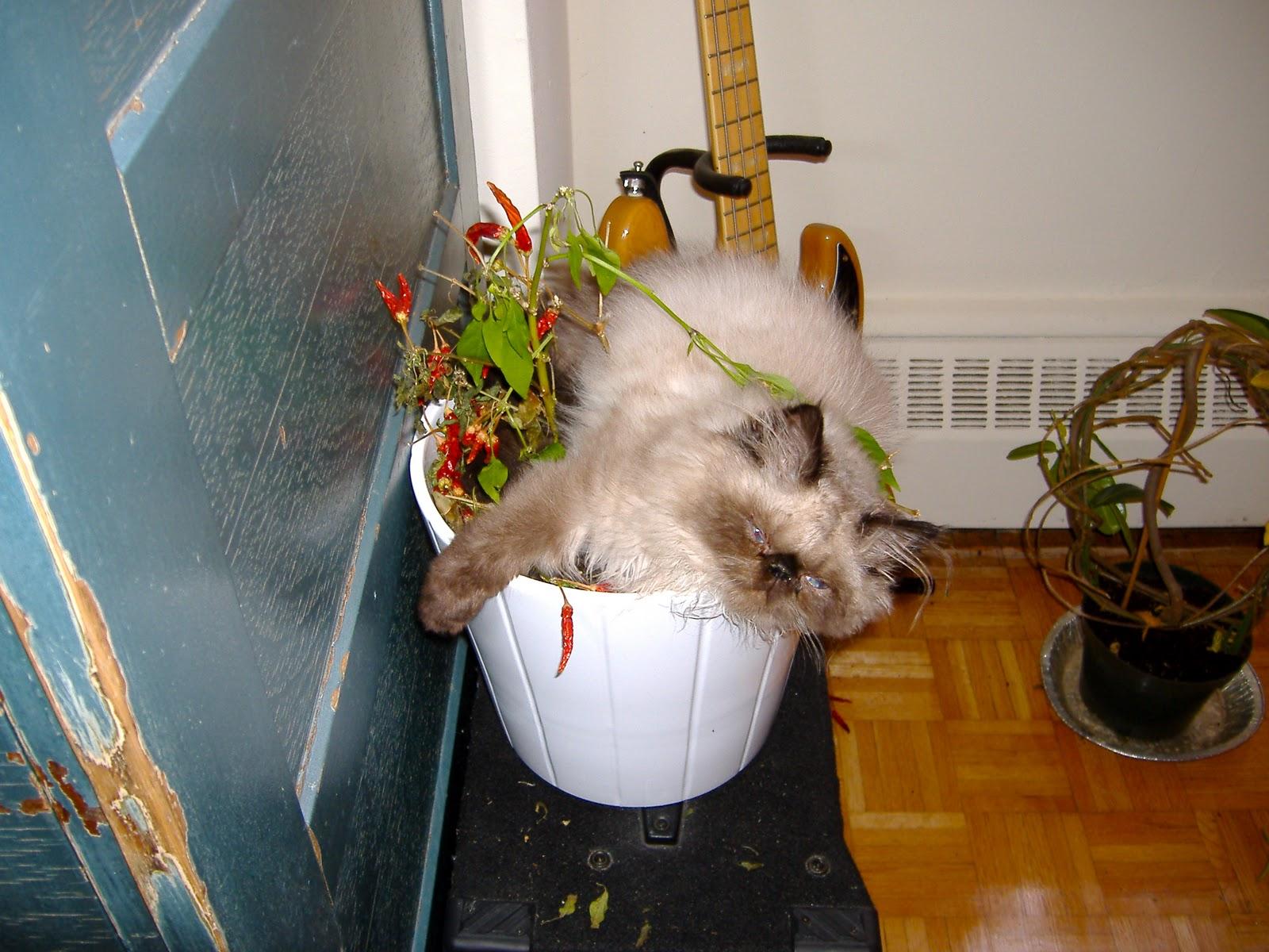 chilli cat.jpg