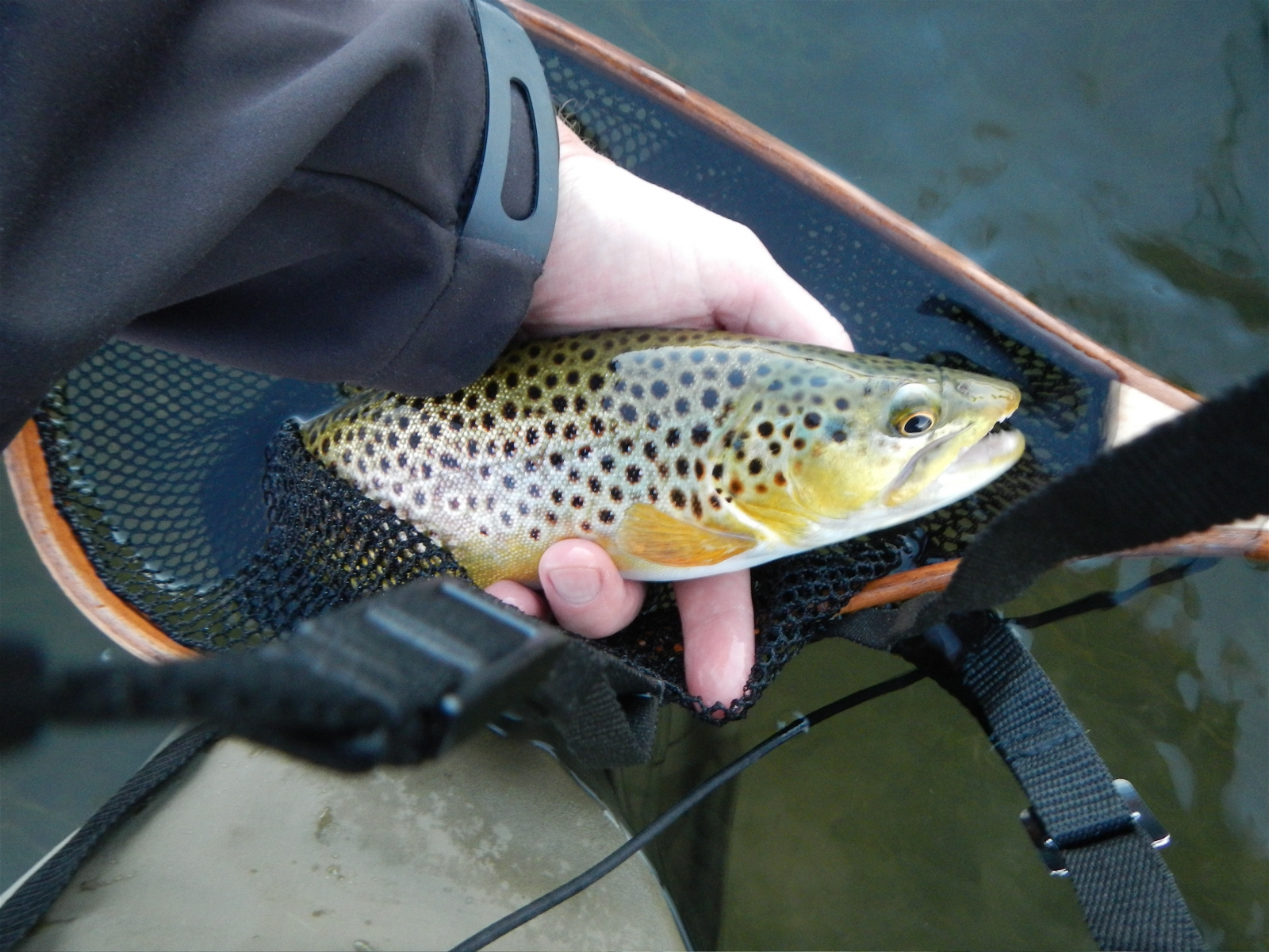 A feisty brown trout that couldn't resist one last brown drake before the hatch ended for another year.