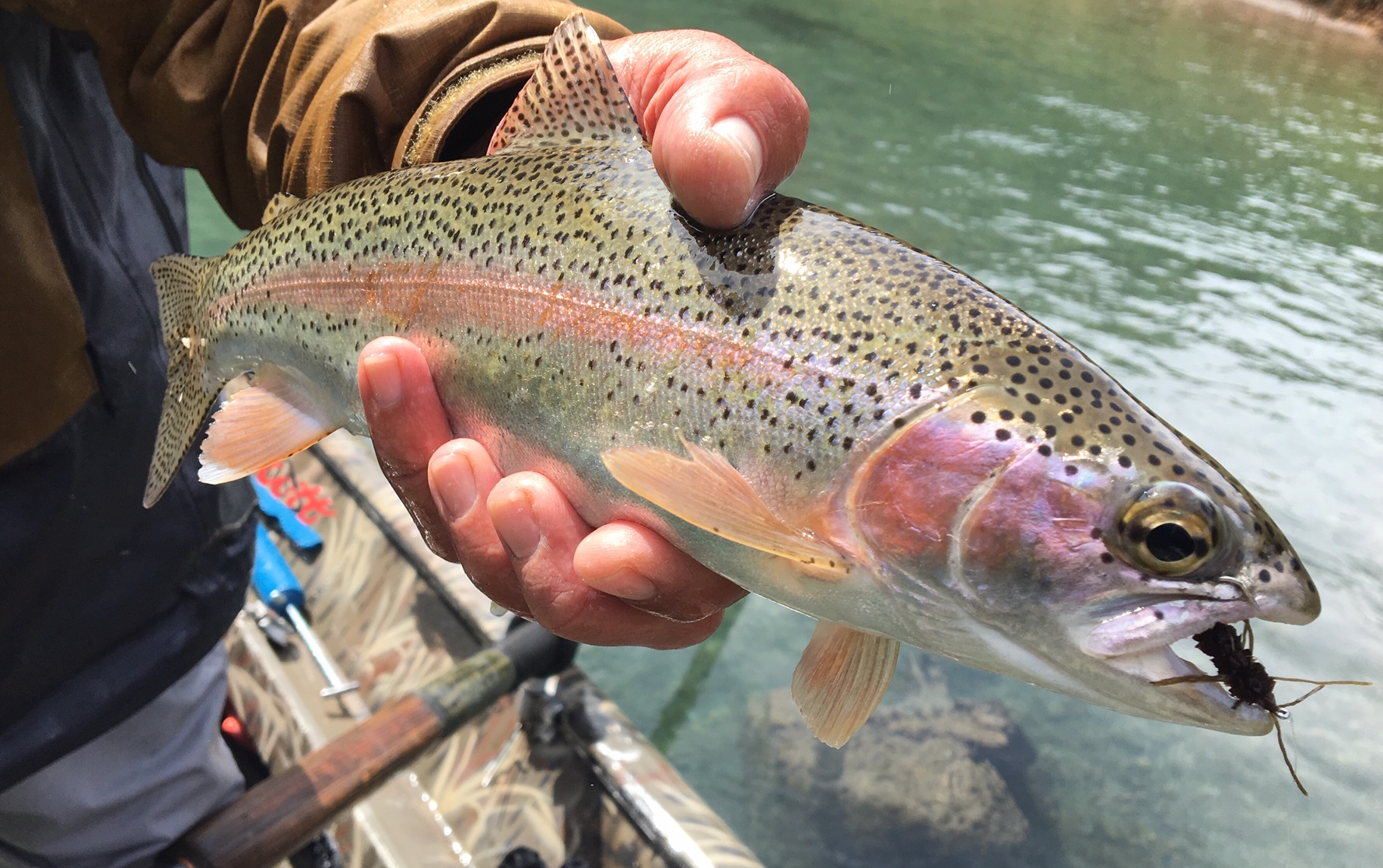 McCloud River rainbow_McKenna.jpg