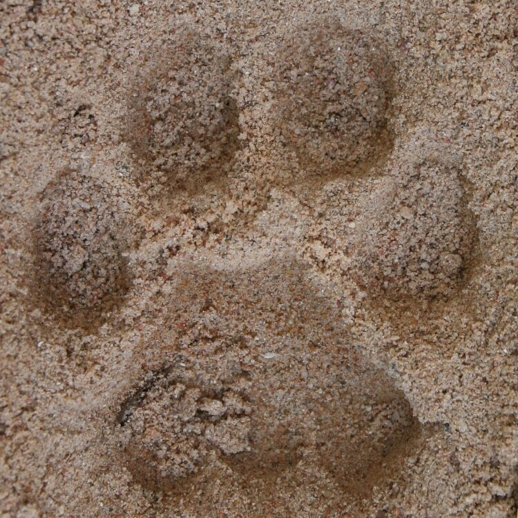Mountain Lion Print (internet image)