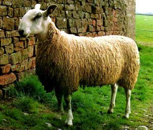 picture borrowed from the internet of a Blue Faced Leicester sheep!